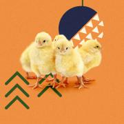 Hejno kuřat