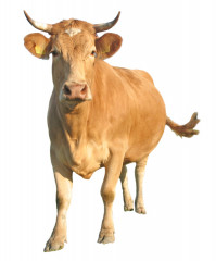 100% kráva