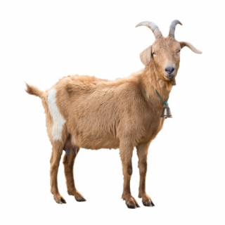 Veselá koza