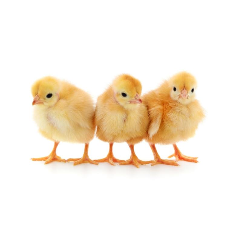 Dvacet kuřat