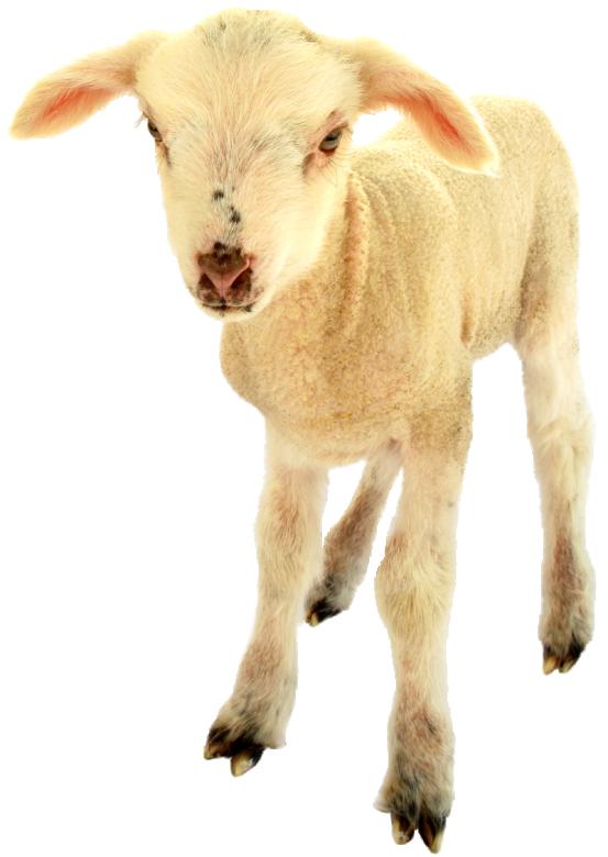 Kudrnatá ovce
